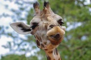family attractions giraffe